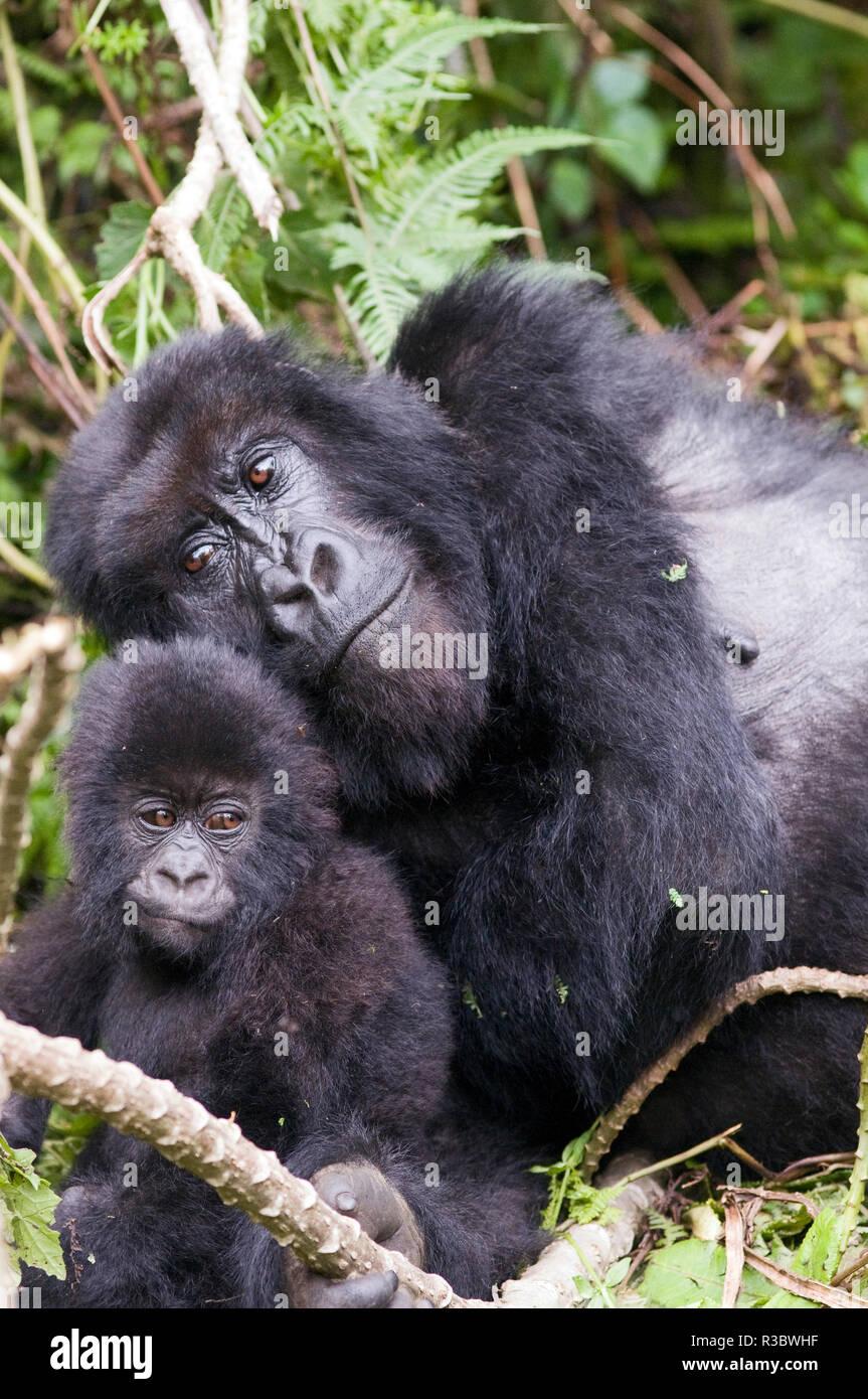 Virunga Mountains, Rwanda, Africa. Mountain Gorilla adult and young. - Stock Image