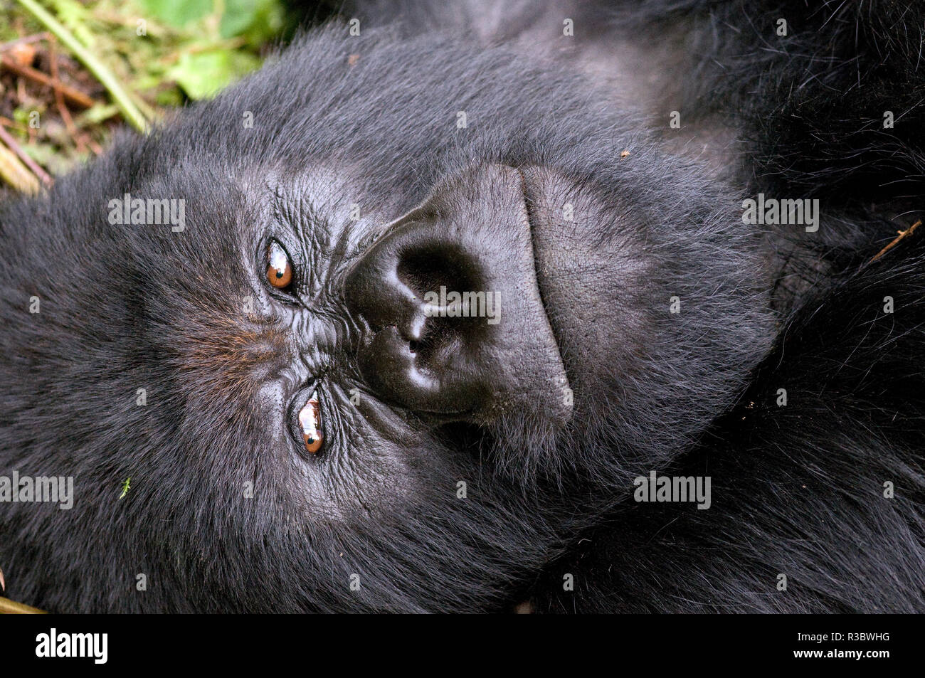 Virunga Mountains, Rwanda, Africa. Mountain Gorilla. - Stock Image