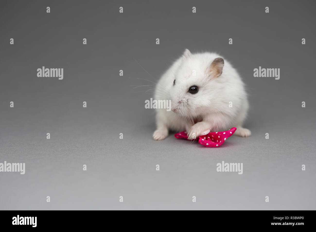 Cute hamster girl with pink bow on Valentines day on gray background - Stock Image