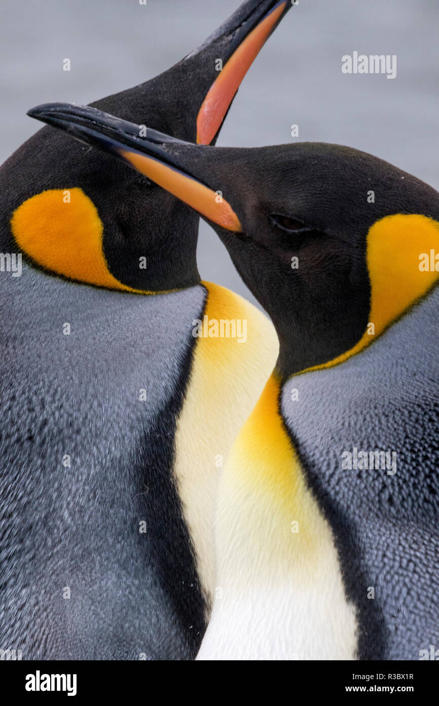 King penguin close-up showing the colorful curves of their feathers. St. Andrews Bay, South Georgia Islands. - Stock Image