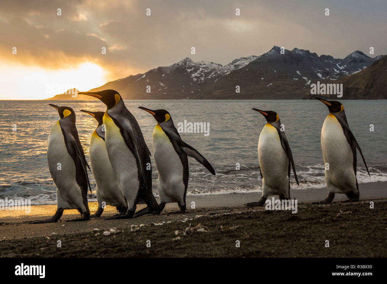 Sunrise with marching king penguins on the beach of St. Andrews Bay, South Georgia Islands. - Stock Image