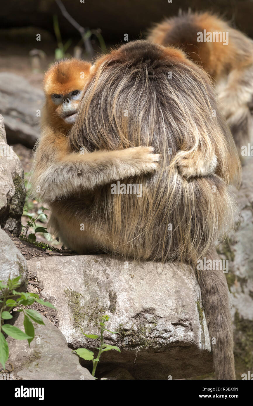 China, Shaanxi Province, Foping National Nature Reserve. Golden snub-nosed monkey (Rhinopithecus roxellana, endangered). Female hugs a male. - Stock Image