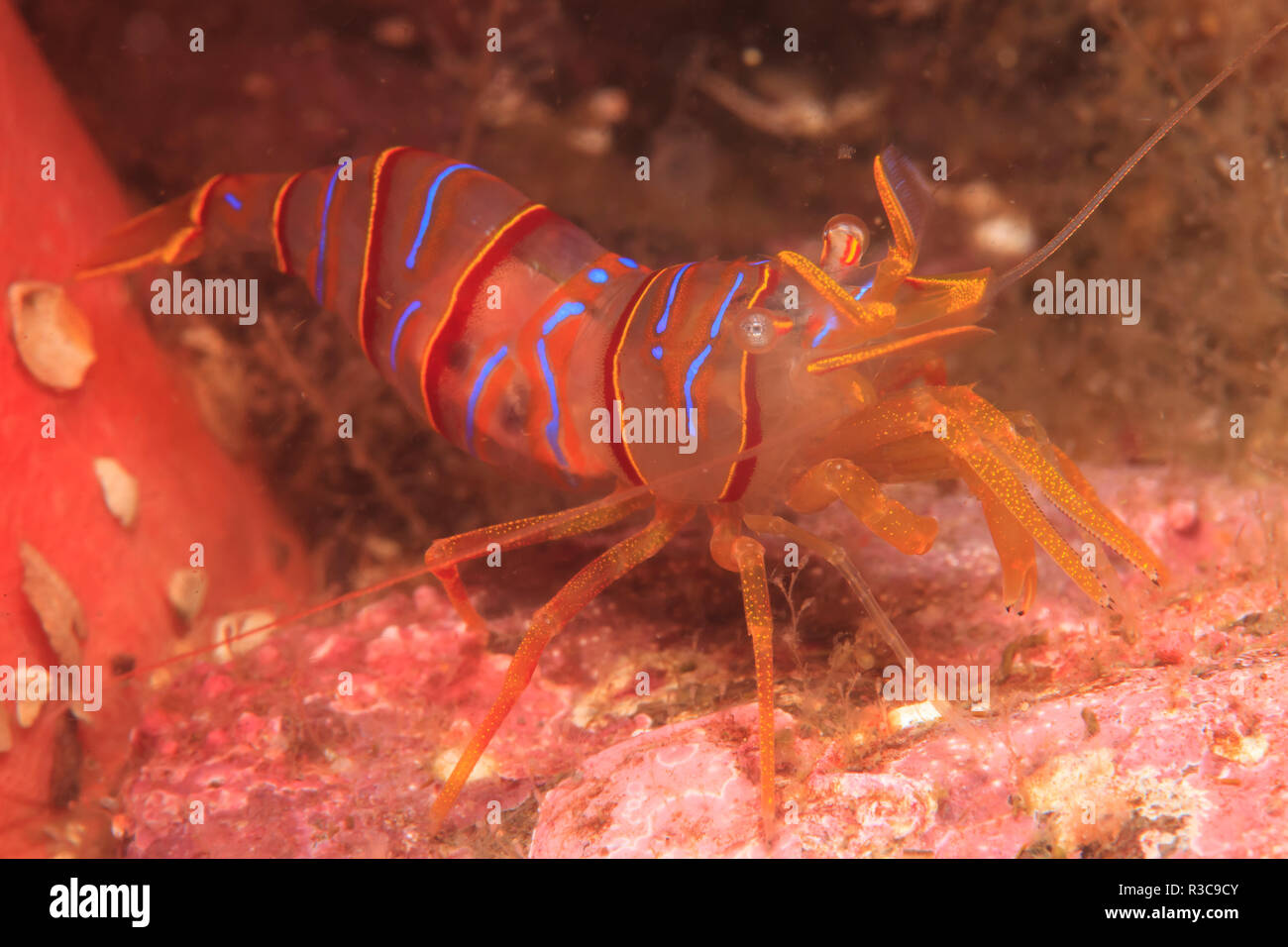 Clown Shrimp (Lebbeus grandimanus), Admiralty Island, Alaska, Inside Passage - Stock Image