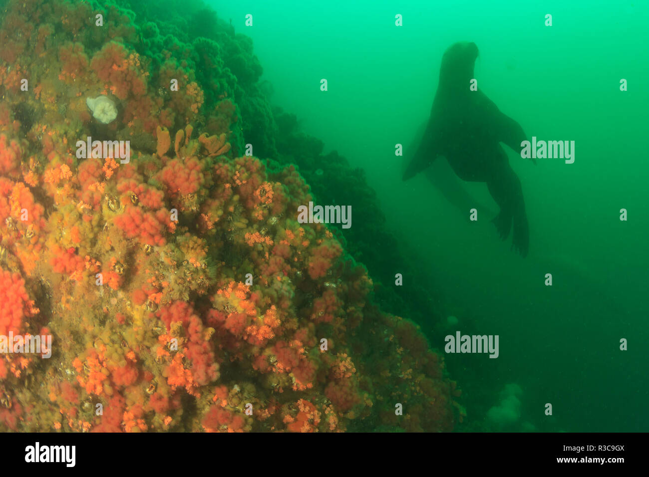 Endangered species, Stellar Sea Lions, very curious, near Inian Island, Icy Strait, Alaska, Inside Passage - Stock Image
