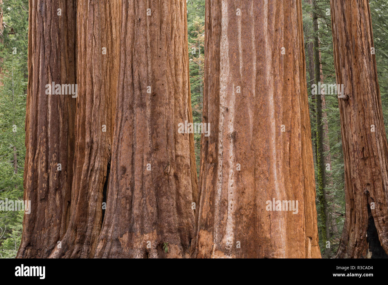USA, California, Sequoia National Park. Sequoia trees close-up. - Stock Image