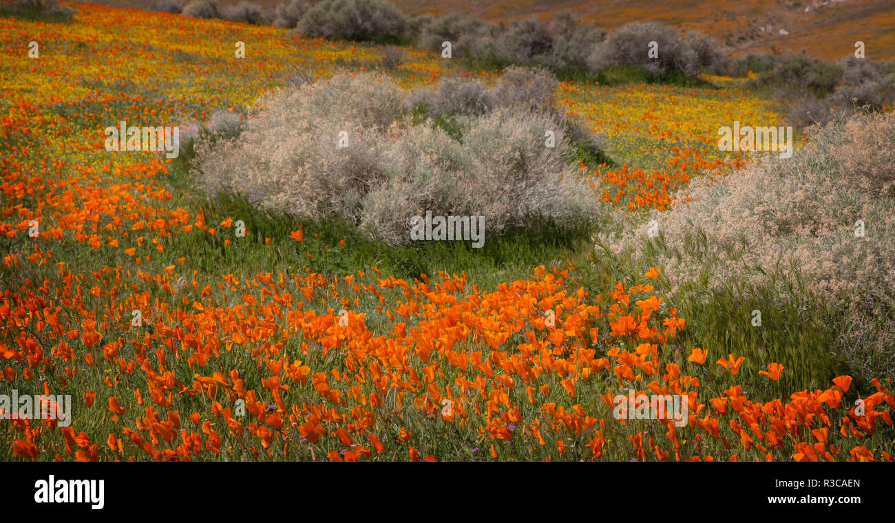 USA, California, Mojave Desert. California poppy blooms and goldfields cover field. - Stock Image