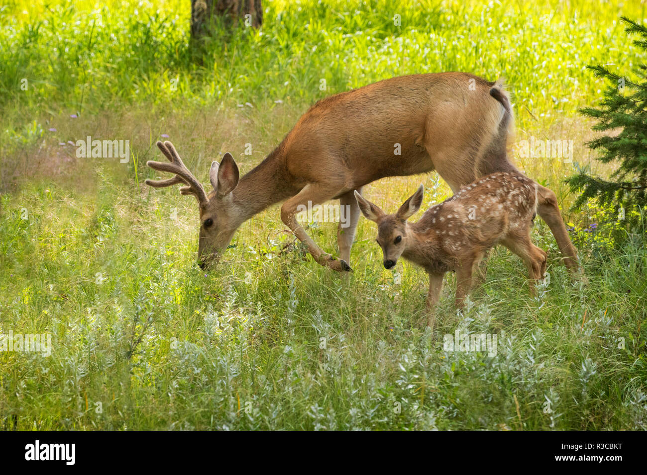 USA, Colorado, Pike National Forest. Mule deer young buck and fawn. - Stock Image