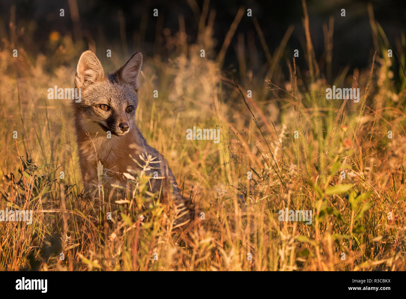 USA, Colorado, Pike National Forest. Gray fox in grass at sunset. - Stock Image