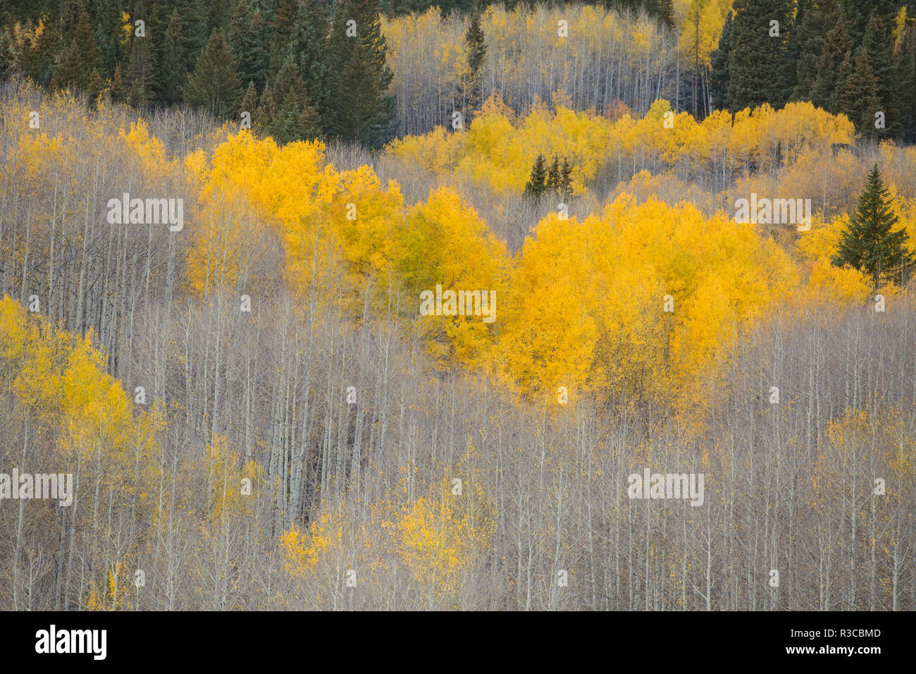 USA, Colorado, Gunnison National Forest. Aspens in fall color. - Stock Image