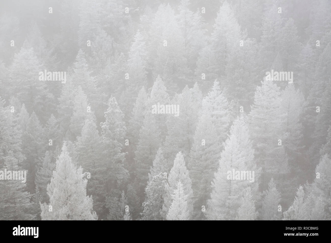 USA, Colorado, Pike National Forest. Hoarfrost and fog in winter forest. - Stock Image