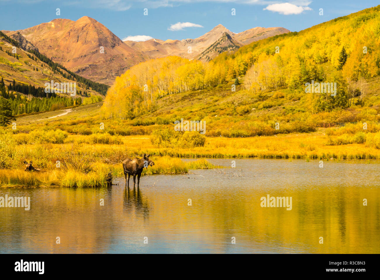 USA, Colorado, Gunnison National Forest. Moose in pond. - Stock Image