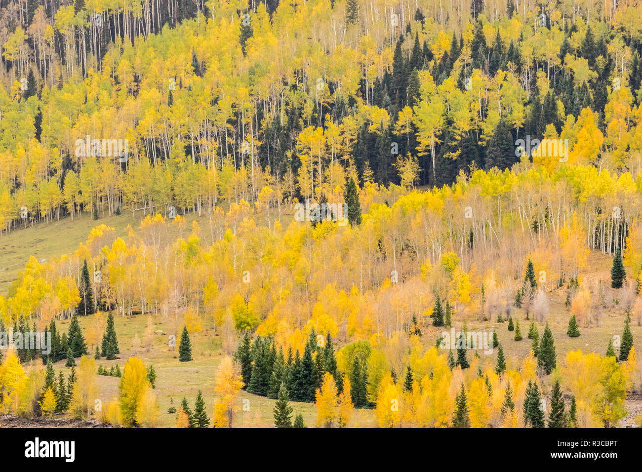 USA, Colorado, Gunnison National Forest. Mountain trees in fall color. - Stock Image