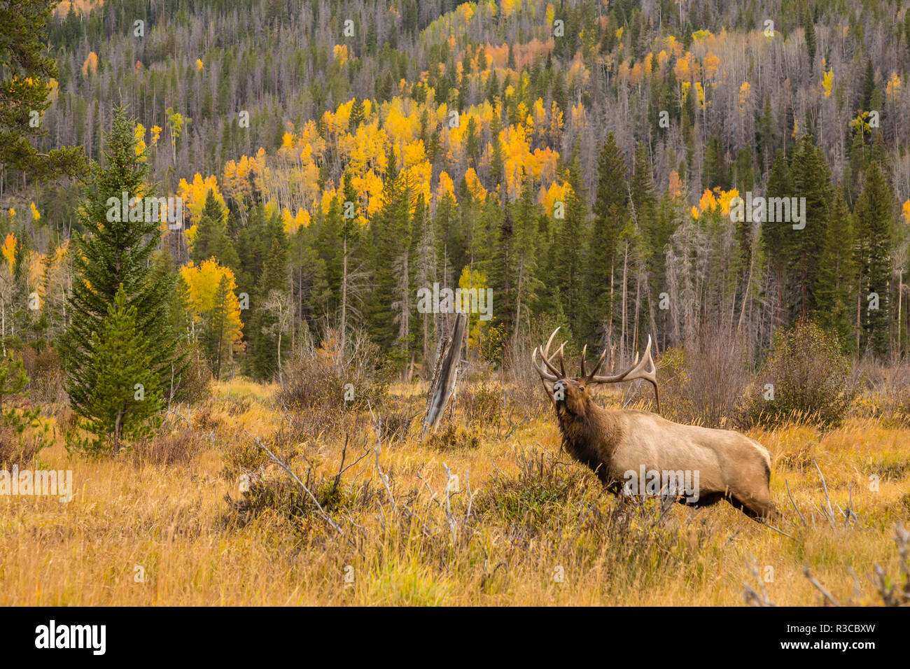 USA, Colorado, Rocky Mountain National Park. Bull elk in field. - Stock Image
