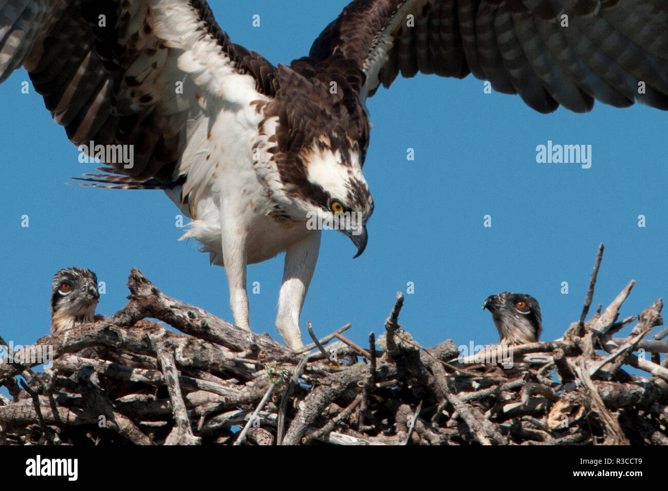 USA, Florida, Sanibel Island, Ding Darling NWR, Osprey Nest with adults and two babies - Stock Image
