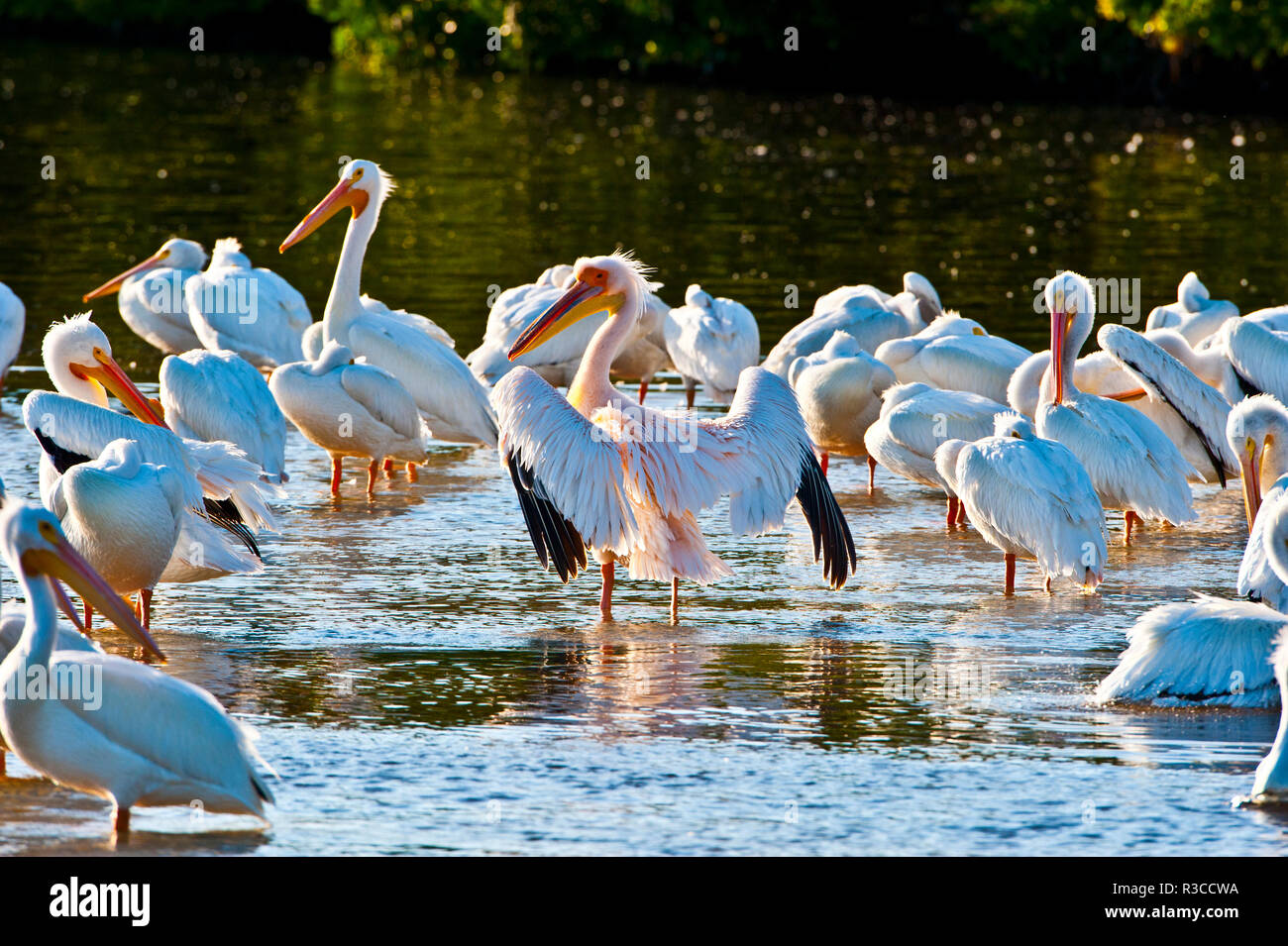 USA, Florida, Fort Meyers, Sanibel Island, J.N. Ding Darling National Wildlife Refuge, Great White African Pelican with American White Pelicans - Stock Image