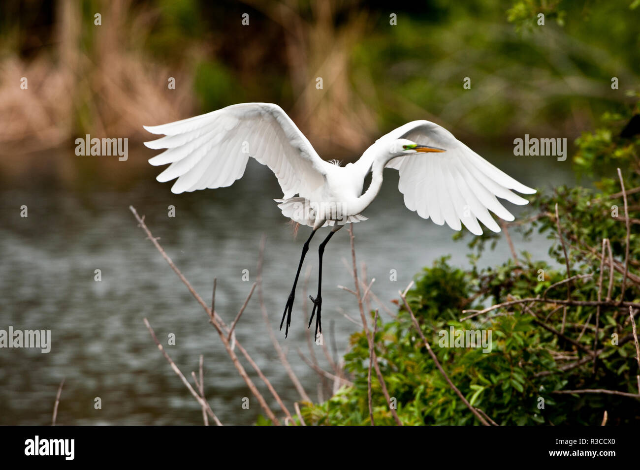 USA, Florida, Venice. Audubon Rookery, Great Egret flying with nest material, landing at nest. - Stock Image