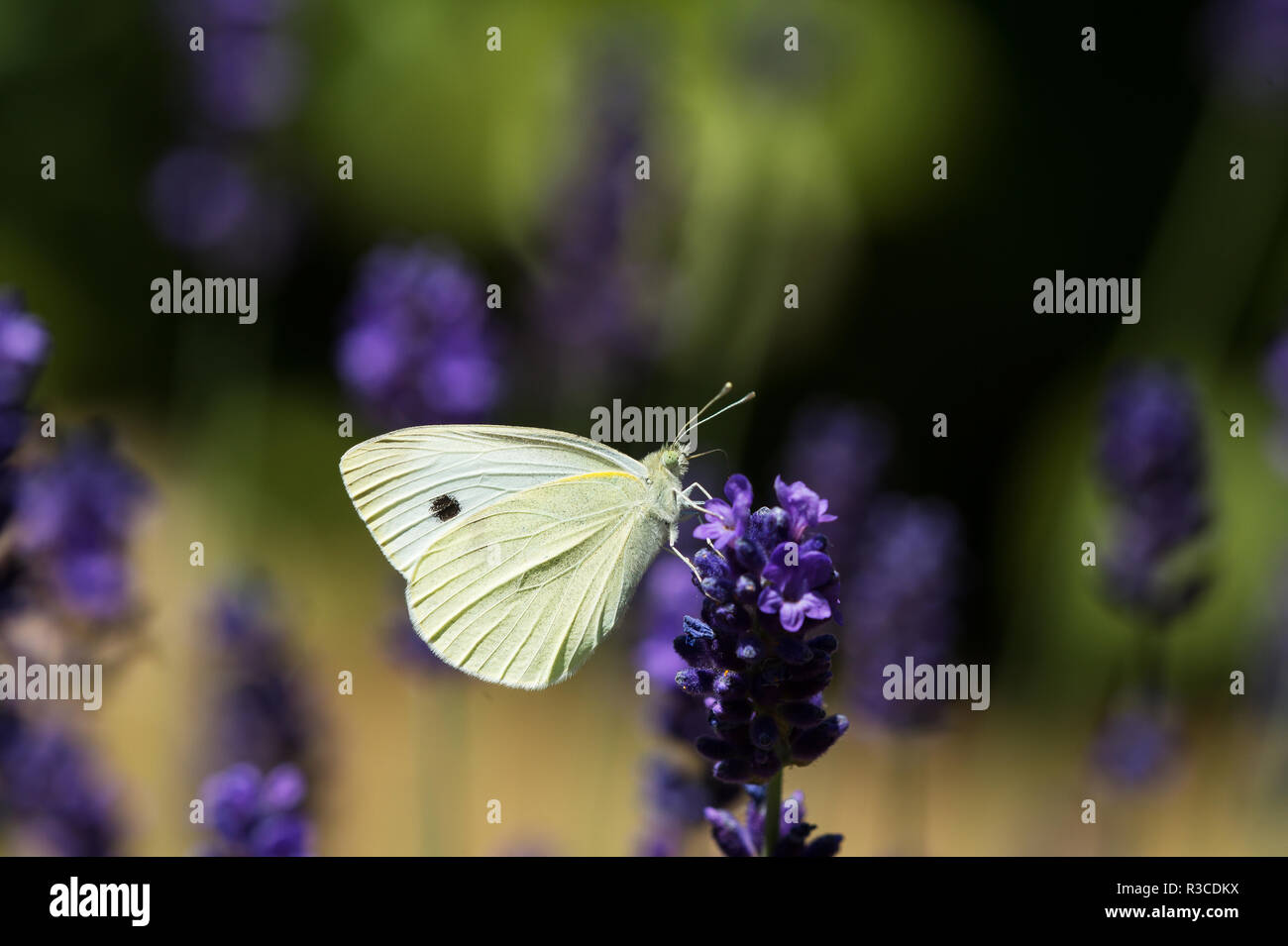 Small White Butterfly, Nottinghamshire - Stock Image
