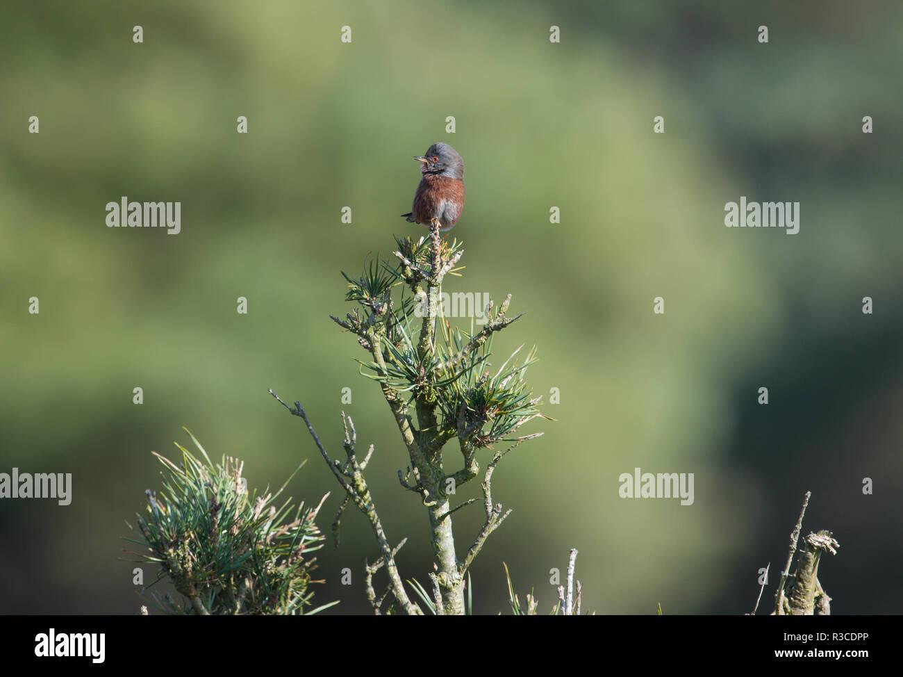 Dartford Warbler, Dunwich Heath, Suffolk - Stock Image