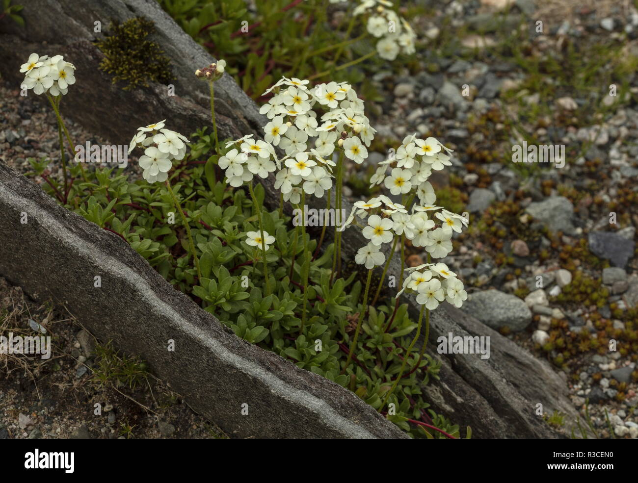 A himalayan rock-jasmine, Androsace delavayi in rock garden. - Stock Image