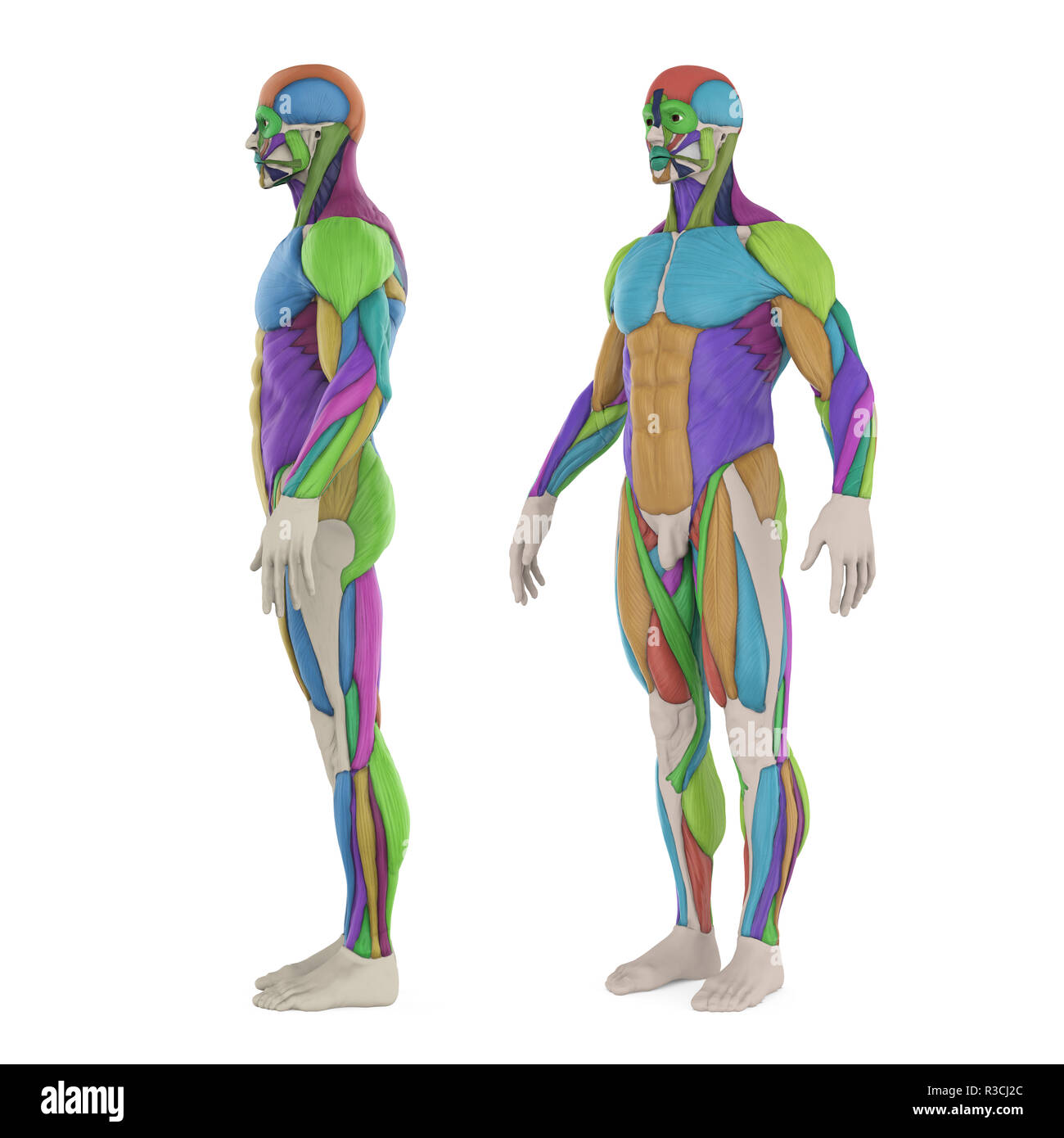 Male Muscles Anatomy Cut Out Stock Images Pictures Alamy
