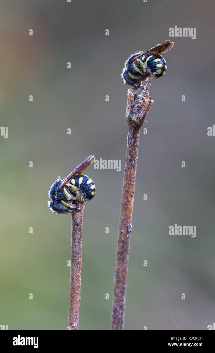 resin bees in sleeping position - Stock Image