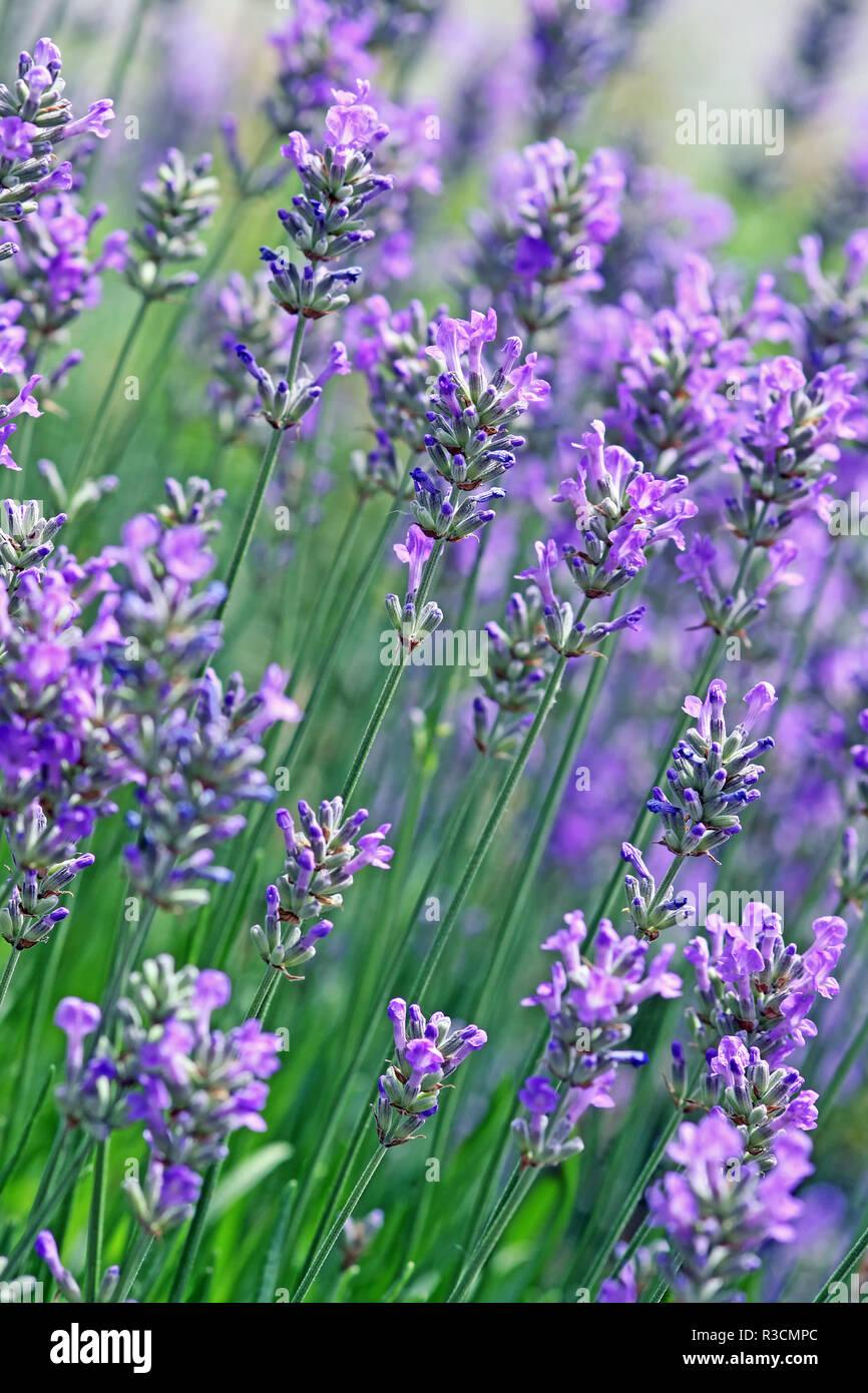 lavender in oblique view - Stock Image