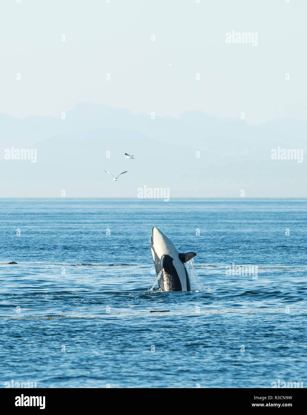 Breaching Orca (Orcinus orca) at Boundary Pass, border between British Columbia Gulf Islands Canada and San Juan Islands, WA - Stock Image