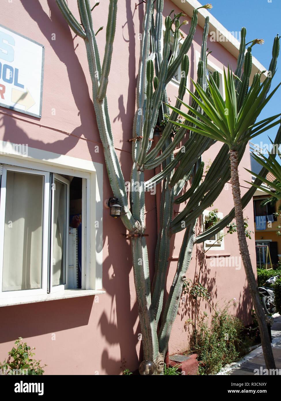 Giant cactus at Makis Apartmentst in Roda, Corfu, greece - Stock Image
