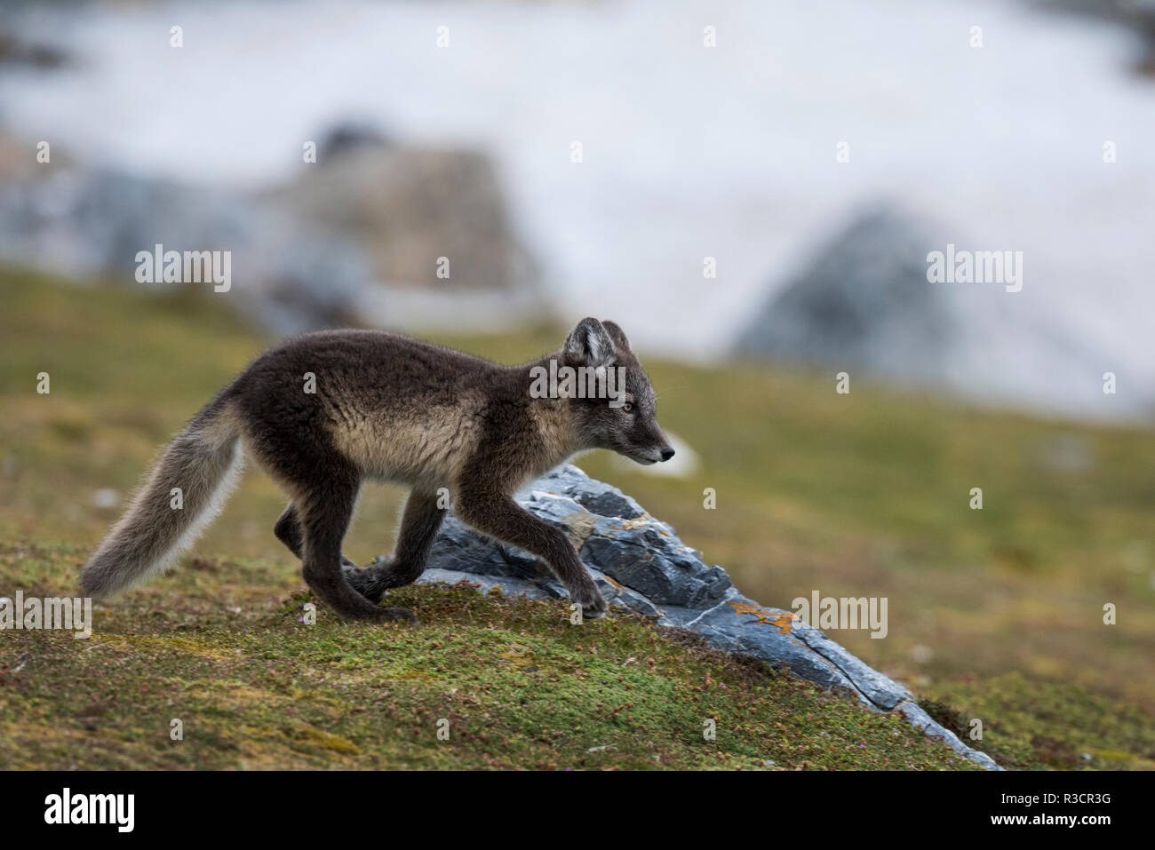 Norway, Svalbard, Spitsbergen. Hornsund, Gnalodden, arctic fox (Vulpes Lagopus) with summer coat. Stock Photo