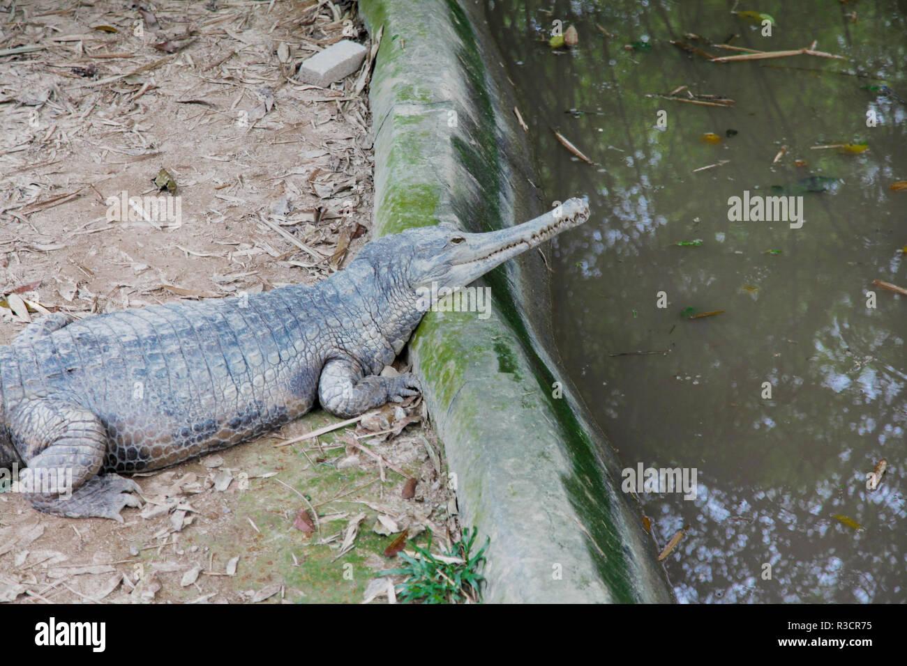 Malayan Gharial crocodile - Stock Image