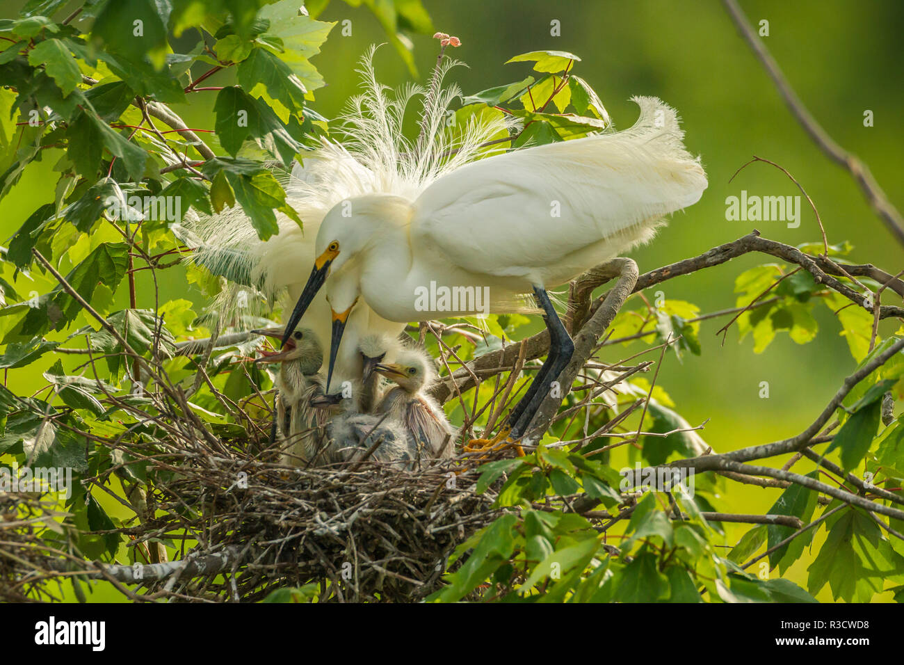 USA, Louisiana, Jefferson Island. Snowy egret pair at nest with chicks. - Stock Image