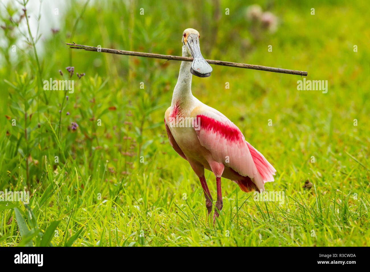 USA, Louisiana, Jefferson Island. Roseate spoonbill with stick for nest. - Stock Image