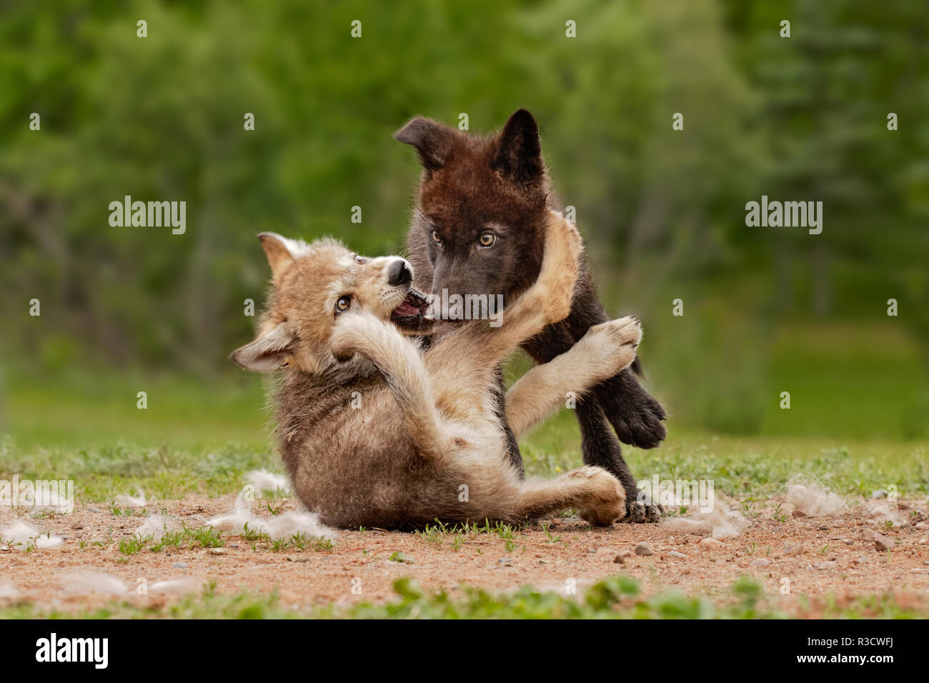 Gray Wolf pups wrestling, Canis lupus lycaon - Stock Image