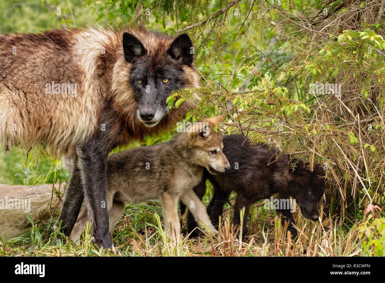 Adult gray wolf with pups wrestling, Canis lupus lycaon - Stock Image