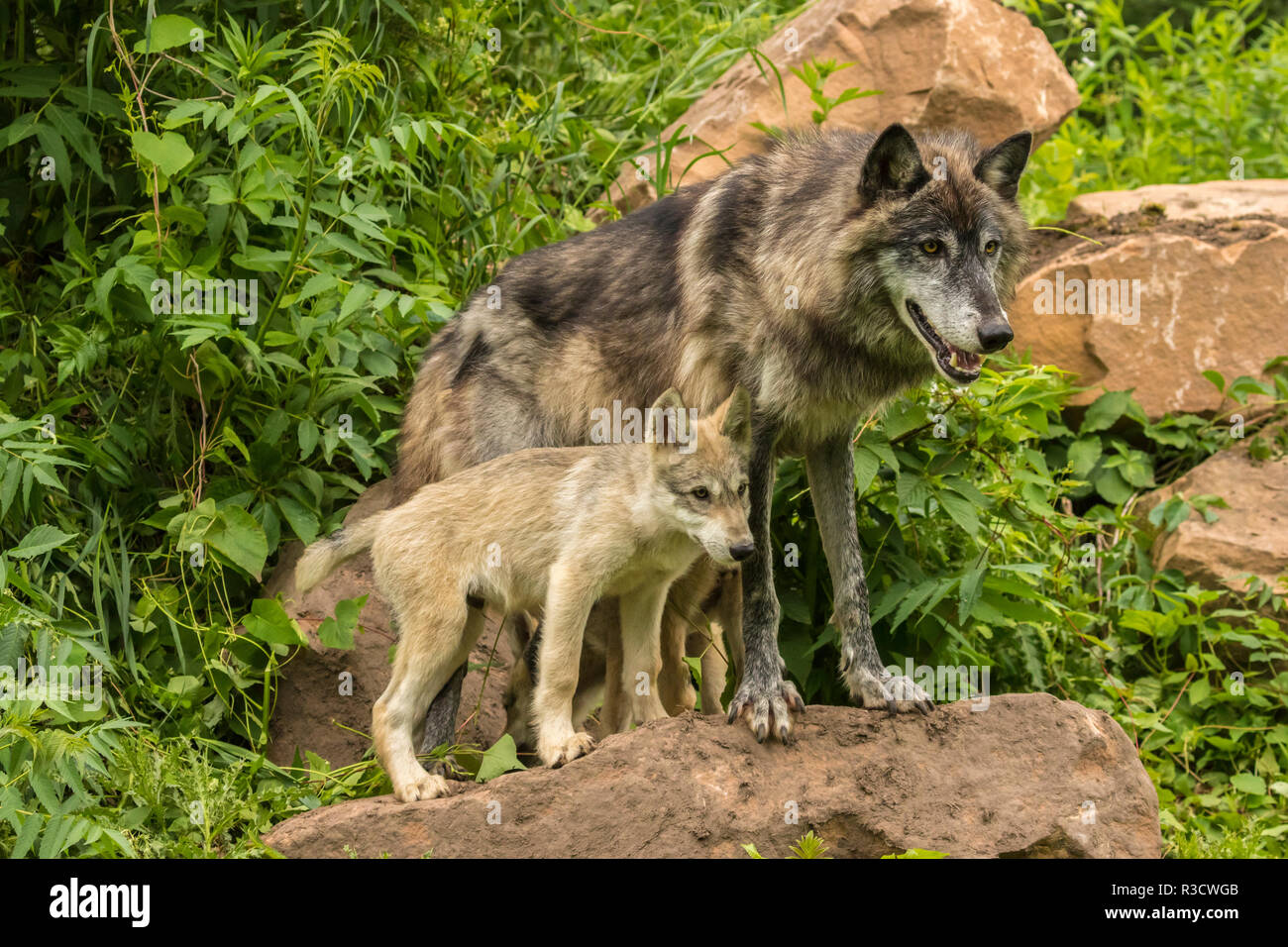USA, Minnesota, Minnesota Wildlife Connection. Captive gray wolf adult and pups. - Stock Image
