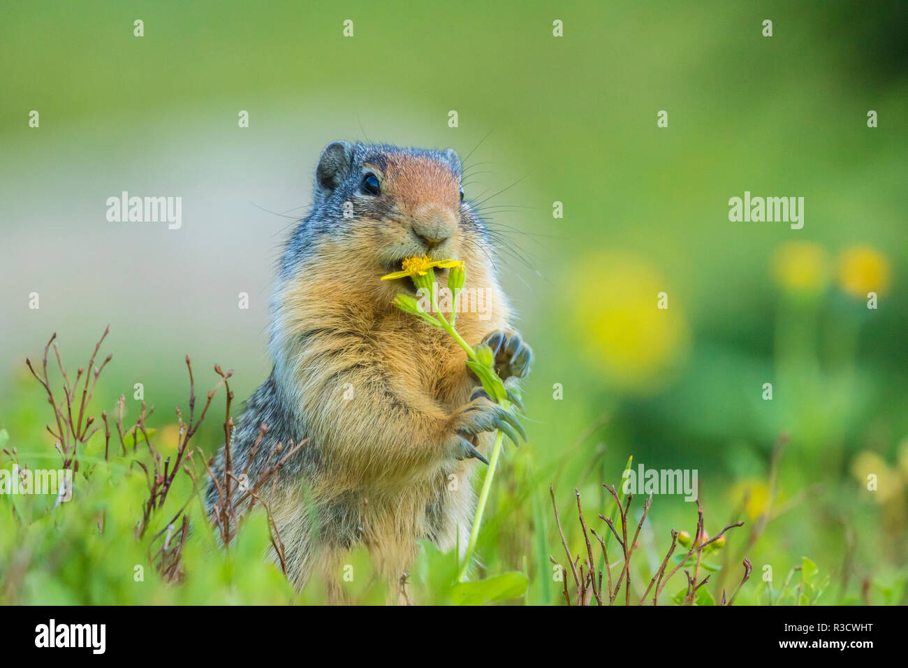 USA, Montana, Glacier National Park. Columbian ground squirrel eating flower. - Stock Image