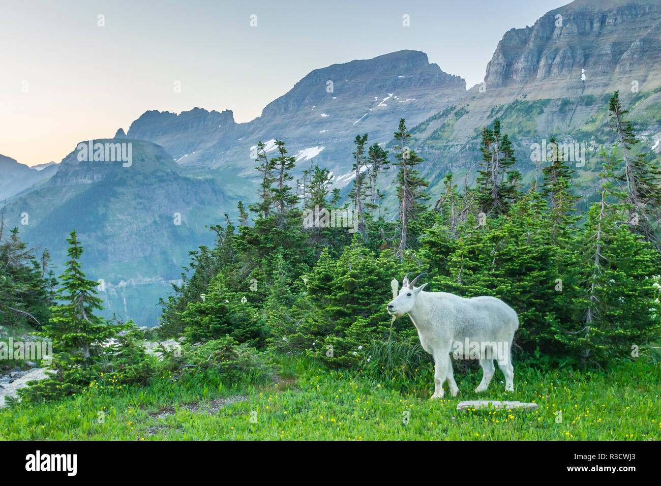 USA, Montana, Glacier National Park. Mountain goat in meadow. Credit as: Cathy and Gordon Illg / Jaynes Gallery / DanitaDelimont.com - Stock Image