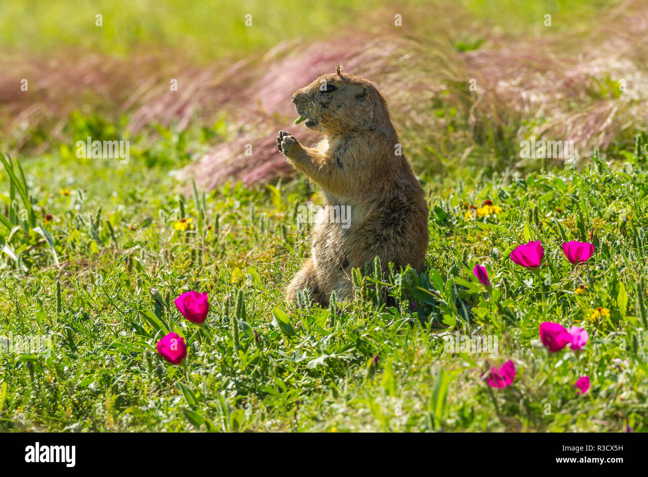USA, Oklahoma, Wichita Mountains National Wildlife Refuge. Prairie dog eating. - Stock Image