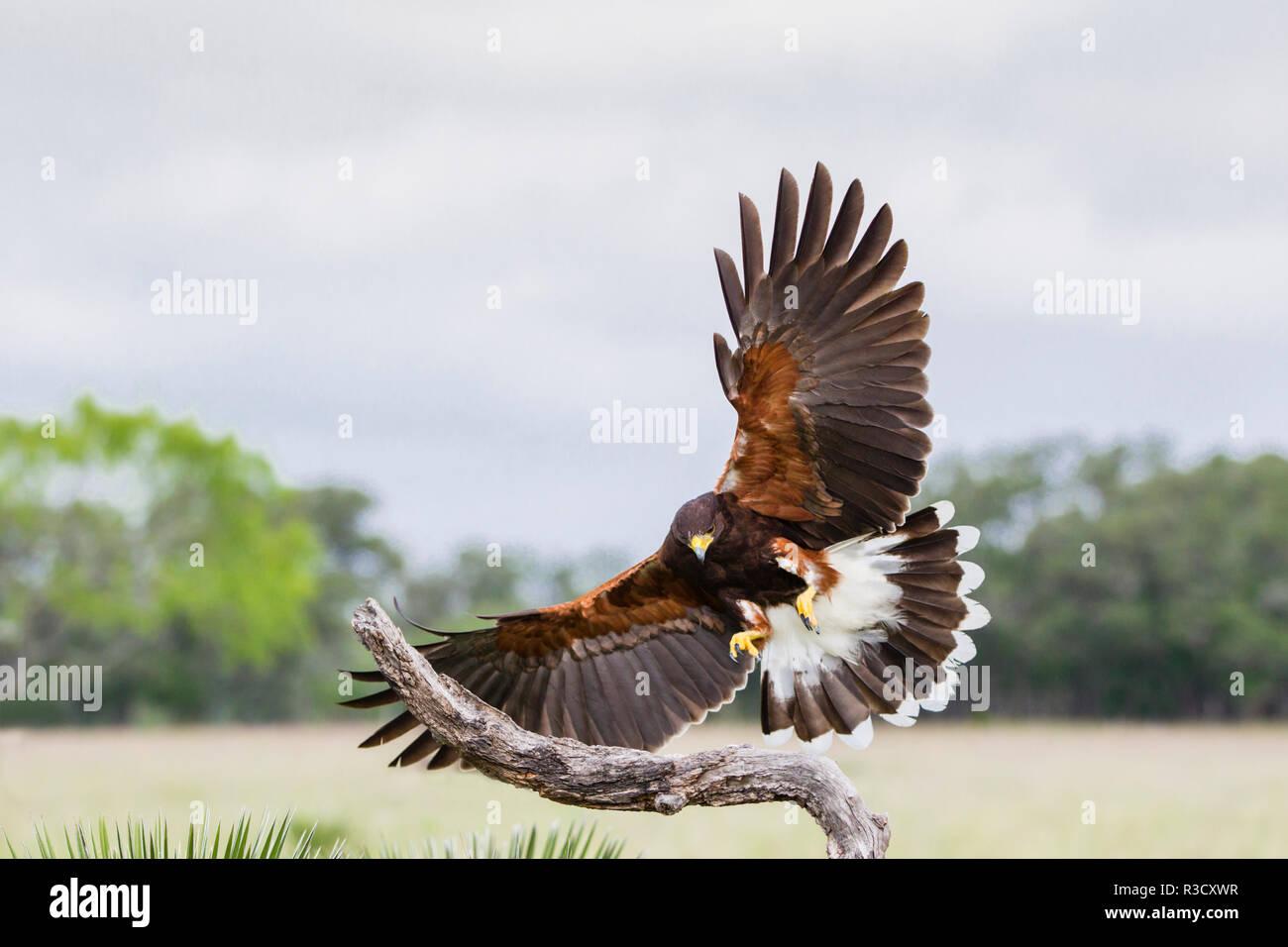 Harris's Hawk (Parabuteo unicinctus) landing - Stock Image