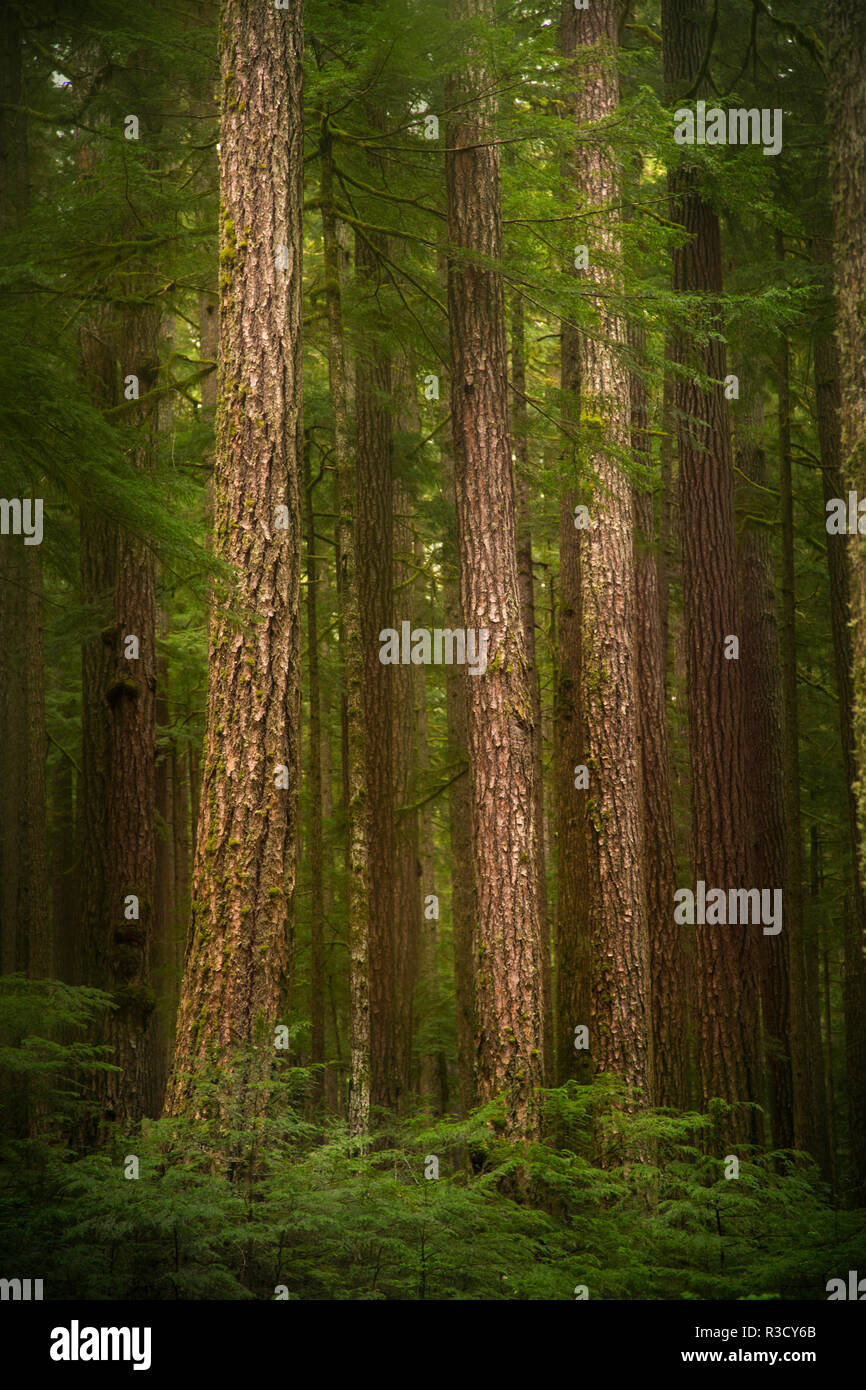 USA, WA, Olympic National Park. Western hemlock tree forest. - Stock Image