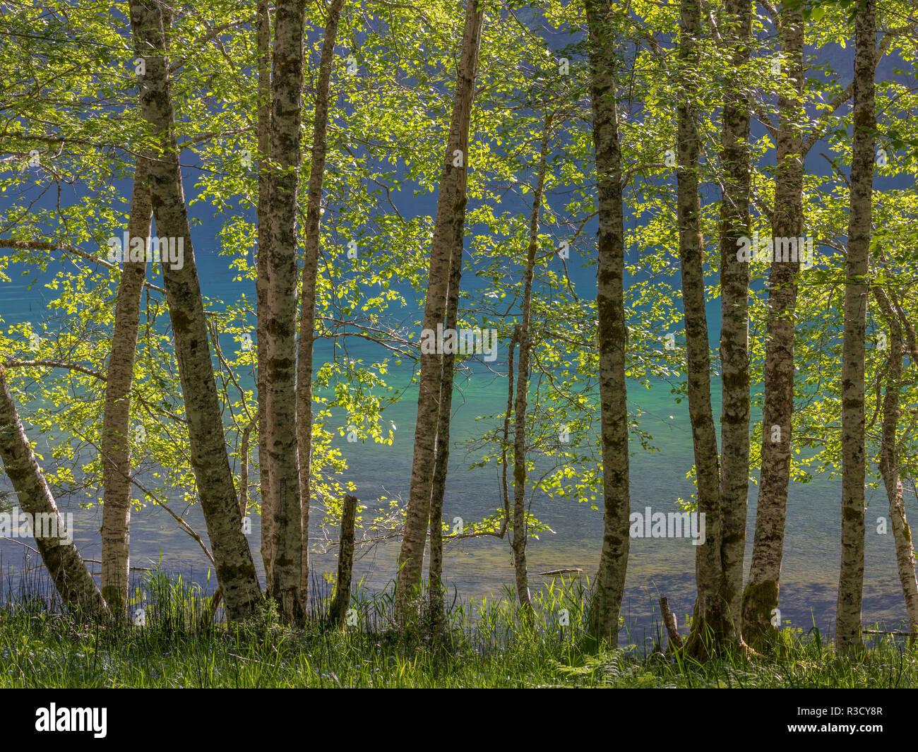 Usa Wa Olympic National Park Alder Trees On Lake Shore Stock Photo Alamy