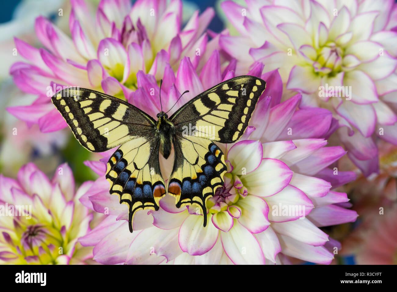 Old World Swallowtail butterfly, Papilio Machaon on Dahlias Stock Photo