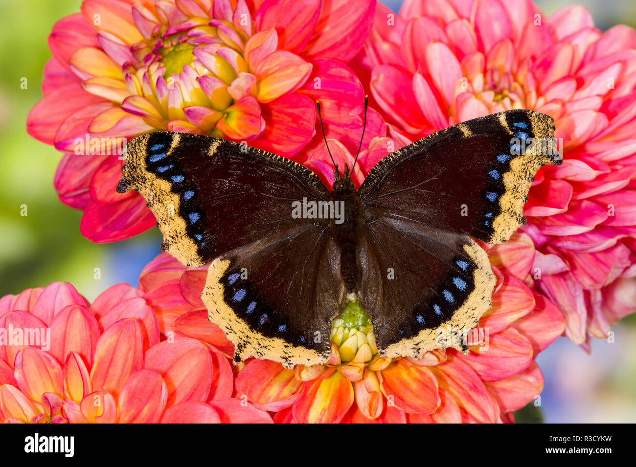 North American butterfly Mourning cloak on Dahlia flowers. - Stock Image