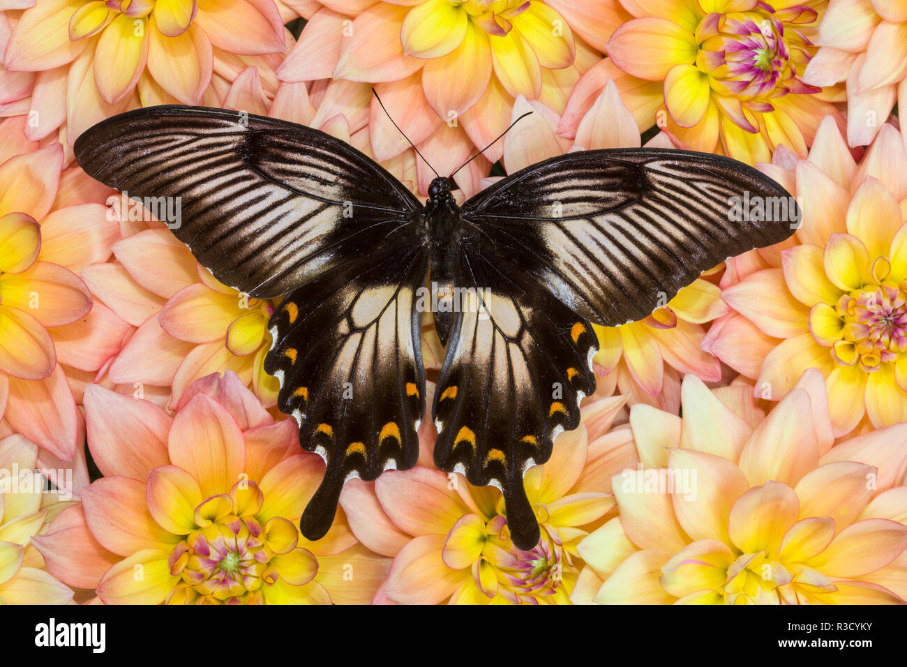 Female Sulawesi Blue Mormon Swallowtail buttery on Dahlia flower pattern - Stock Image