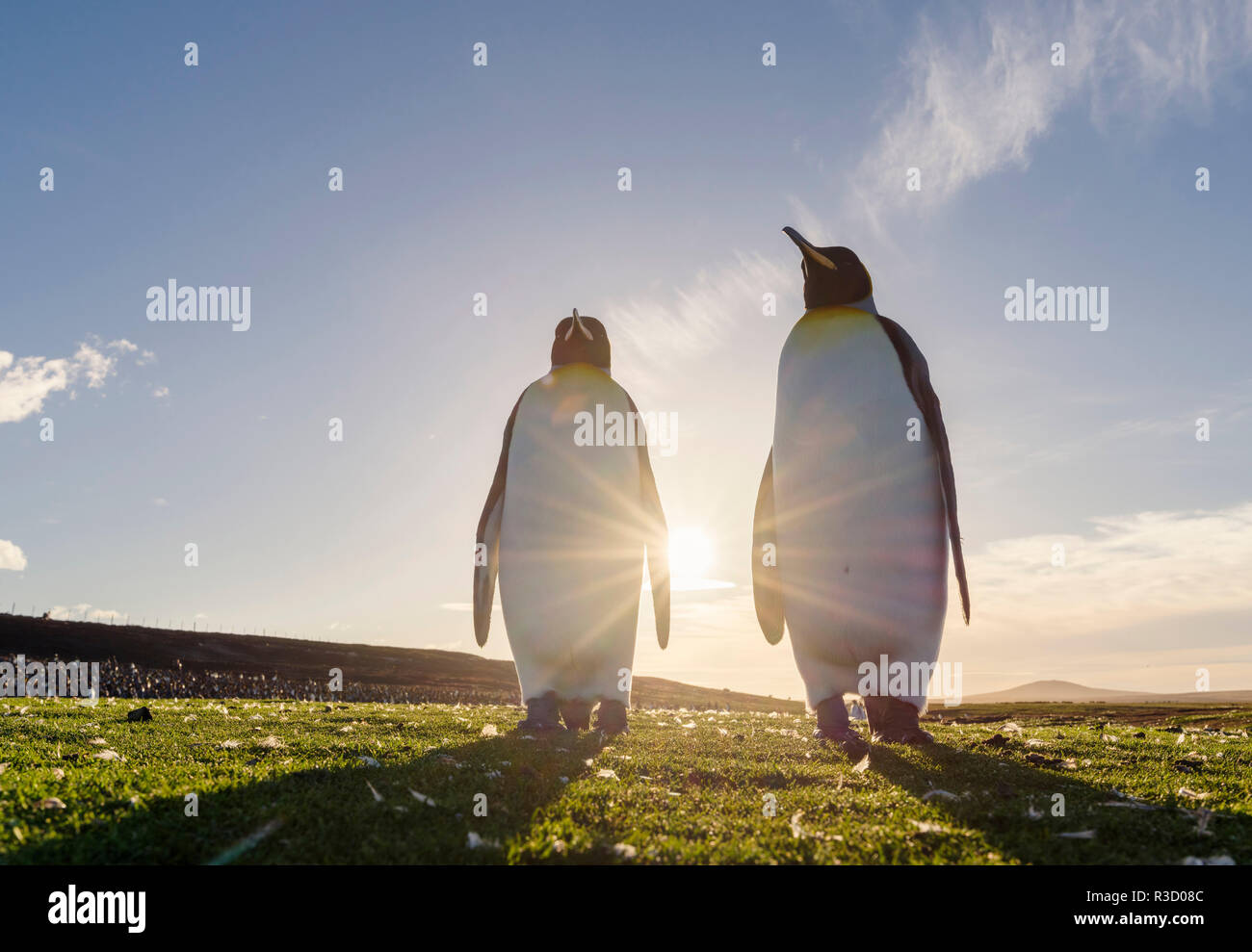 King Penguin (Aptenodytes patagonicus) on the Falkland Islands in the South Atlantic. Courtship display. Stock Photo