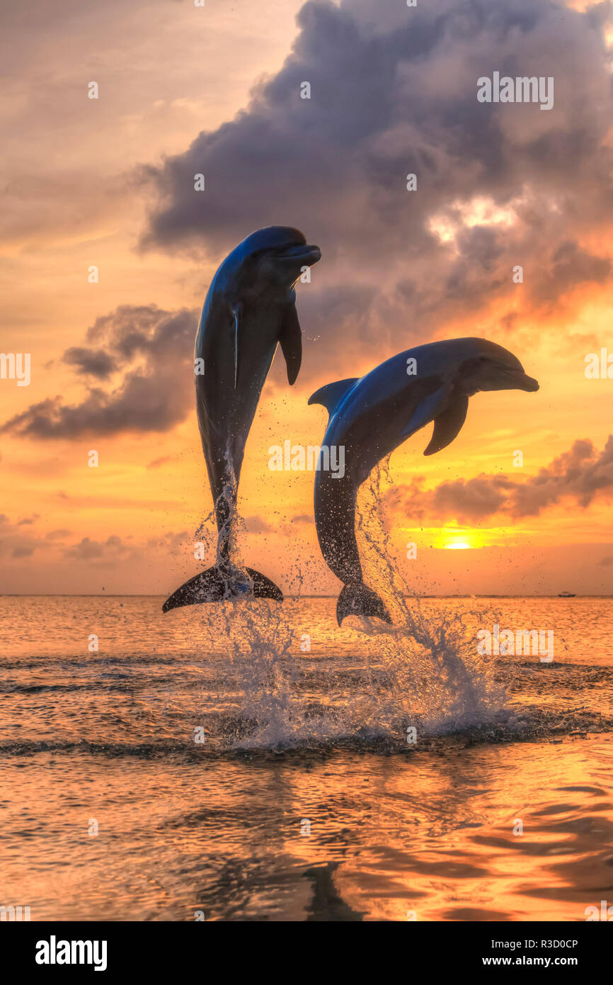 Bottlenose Dolphins (Tursiops truncatus), Caribbean Sea, Roatan, Bay Islands, Honduras - Stock Image