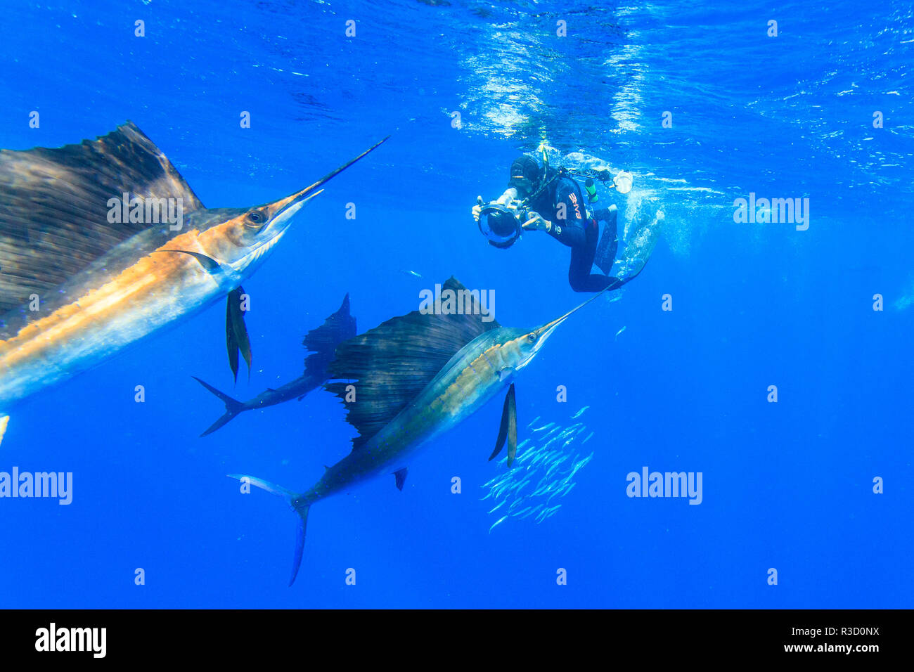Sailfish (Istiophorus albicans) feeding on Brazilian Sardines about 10 miles offshore from Isla Mujeres, Yucatan Peninsula, Mexico - Stock Image