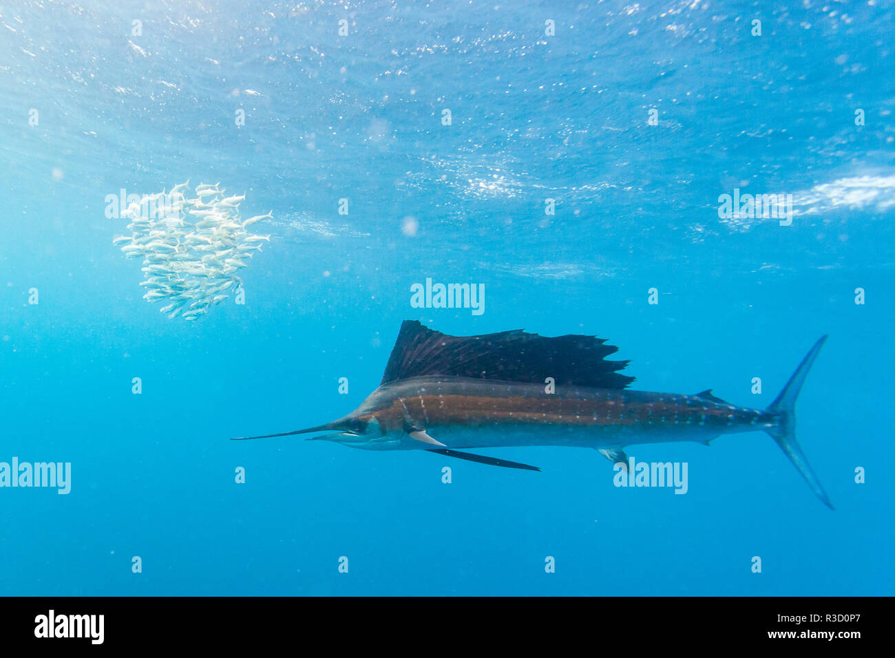 Sailfish (Istiophorus albicans) feeding on Brazilian Sardines about 10 miles offshore from Isla Mujeres, Yucatan Peninsula, Mexico - Stock Image