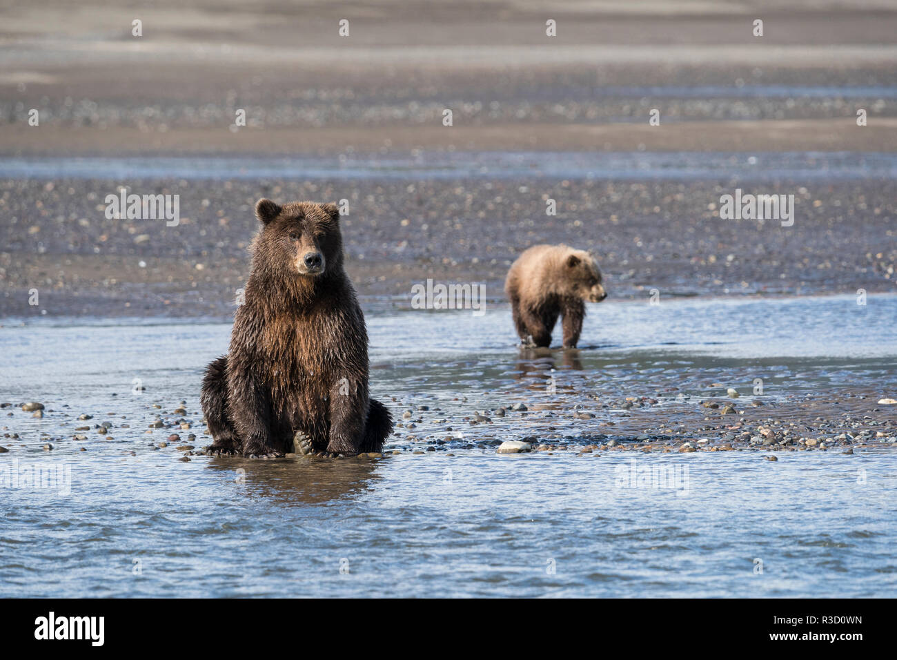 A brown bear (Ursus Arctos) and her cub watch for fish along the river in Lake Clark National Park, Alaska. - Stock Image