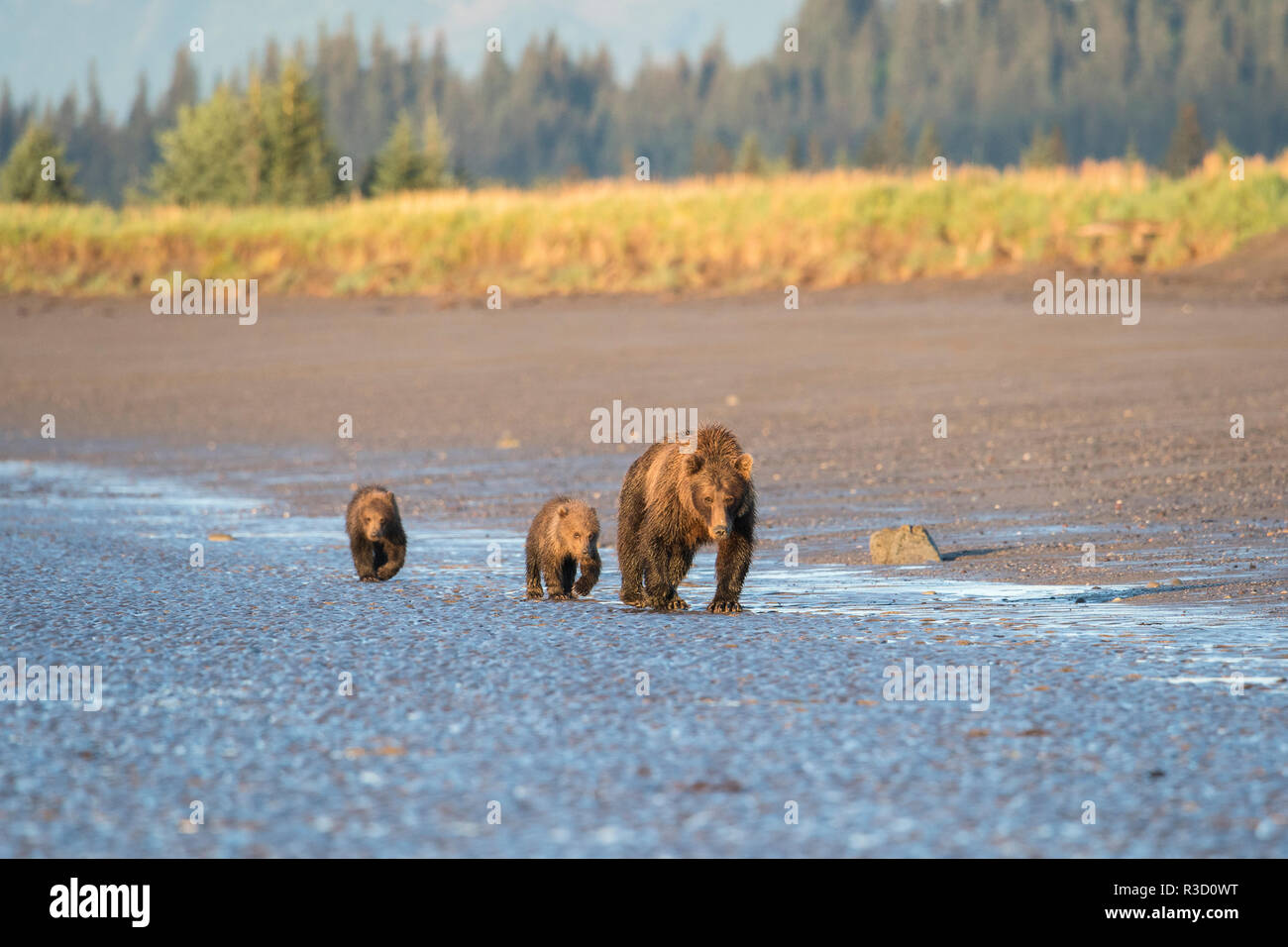 A mother brown bear (Ursus Arctos) walks with her two cubs along the tidal edge of the ocean in Lake Clark National Park, Alaska. - Stock Image